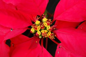 Close up photo of a Poinsettia flower