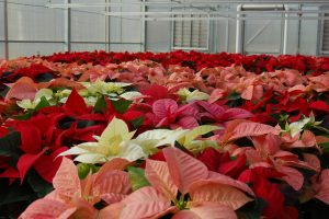 Photo of many Poinsettias: Pink, red, salmon, white in color.