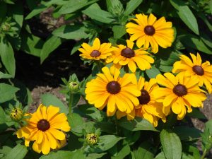 Photo of a Rudbeckia plant in bloom