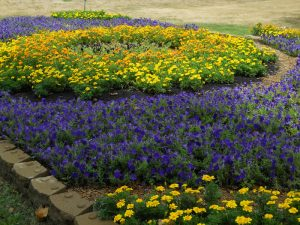 Photo of a bed of Petunias and marigolds