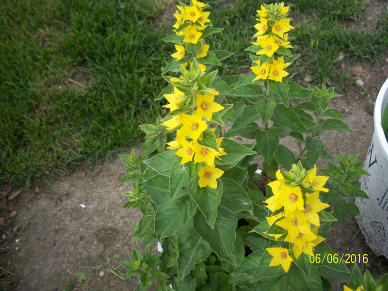 Weed or flower sometimes its in the eye of the beholder indiana yellow loosestrife in bloom mightylinksfo