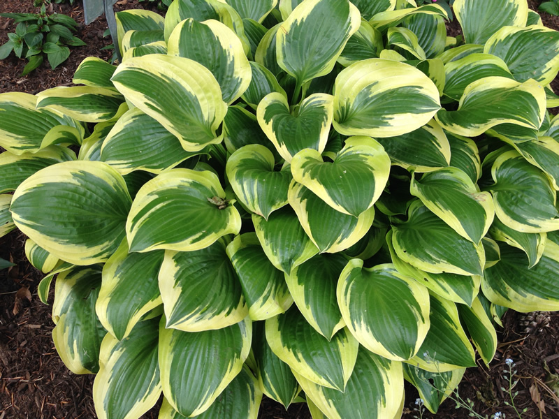 Humble Hosta Indiana Yard And Garden Purdue Consumer