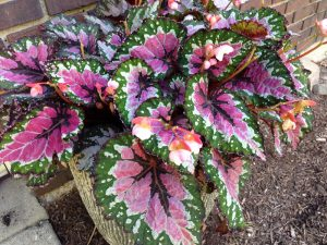 Picture of Rex Begonia plant in a pot outdoors that needs to migrate indoors now. Photo credit: Rosie Lerner, Purdue Extension