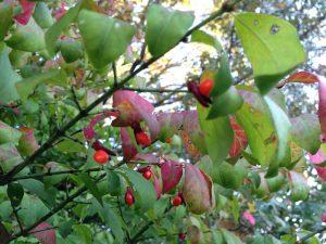 Picture of Burning bush fruit Photo credit: Rosie Lerner