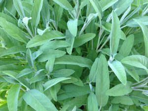 Picture of a sage plant showing the Sage Leaves