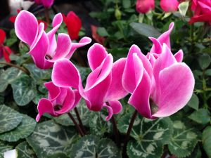 Picture of Cyclamen plant with heart-shaped leaves and flowers of white, or shades of pink, red or lavender.
