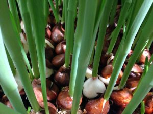 Foilage sprouting from tulip bulbs