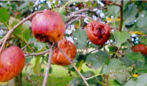Black rot suspected on Northern Spy apples shown still hanging on the tree in the orchard. Photo credit: W.F., Portland, Ind.