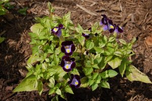Picture of a Torenia (Wishbone flower) plant showing injury by sour mulch