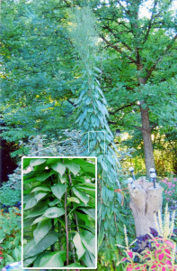 picture of very tall, unknown plant growing in a garden with a close up of a section of the plant blown up for detail.