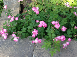 Rose in bloom in a landscape next to hardscape