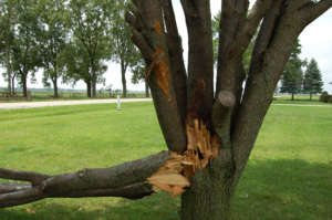 Tree in the Landscape showing a large section broken off at the trunk by a storm
