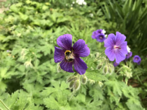 Bee working perennial geranium flower. in the landscape.