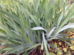 picture of overcrowded iris plant in the landscape