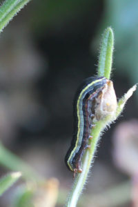 Yellowstriped armyworm on a plant stem.  Photo credit: A.W., Owensville, Indiana