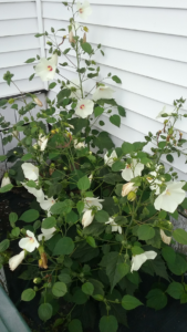 Hibiscus plant showing white blooms in a floor bed next to a house