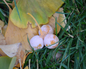 Ginkgo tree leaves and 3 fruit shown laying together on grass.  Photo credit: Purdue Arboretum