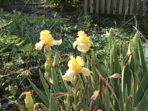 Plants and blooms of a yellow iris blooming in November in the landscape. Photo credit: Rosie Lerner, Purdue Extension