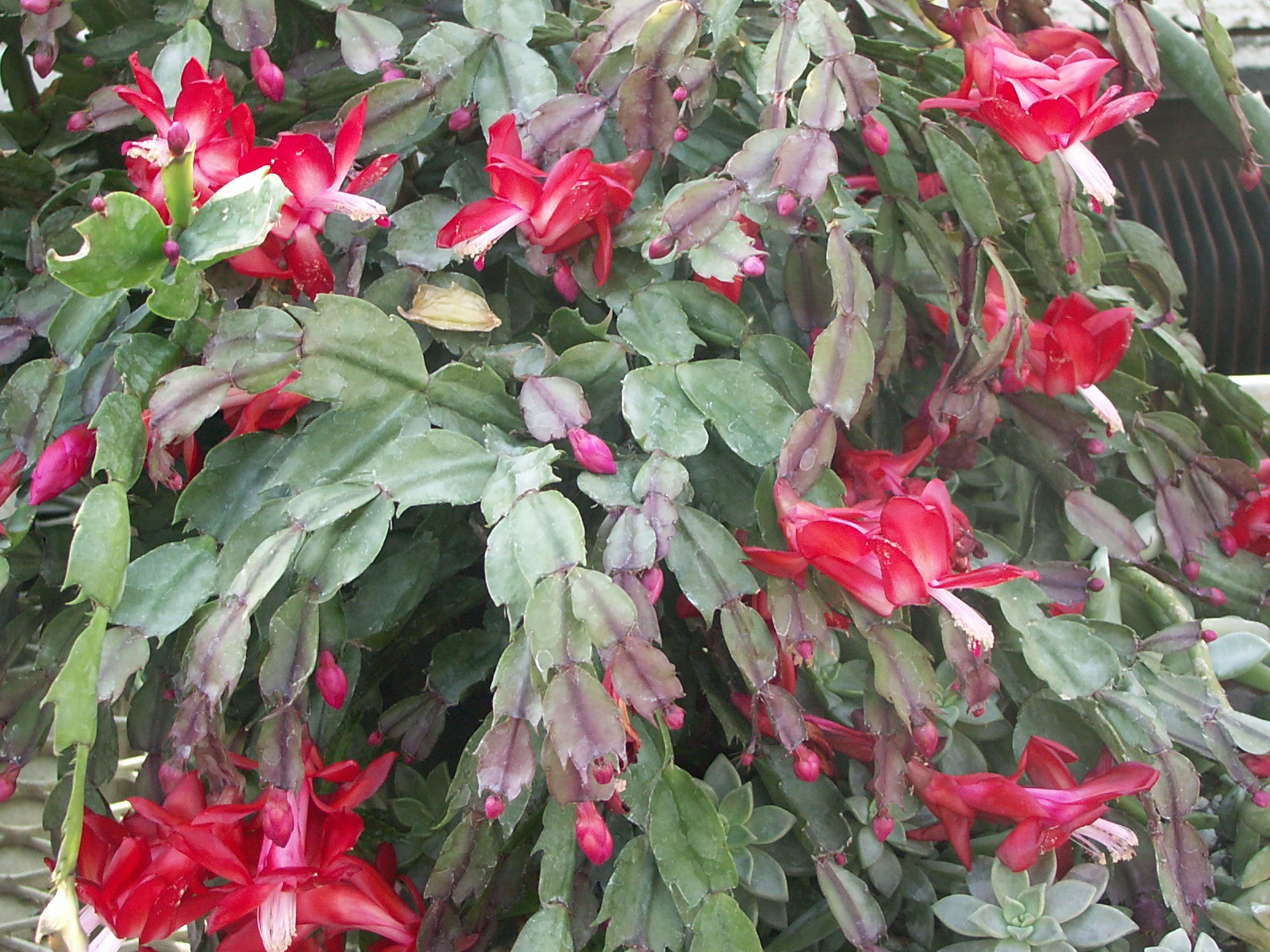 How To Get A Christmas Cactus To Bloom.Getting Christmas Cactus To Rebloom Indiana Yard And