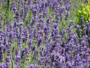 Close up of lavender plants showing the plants in full blooms of purple flower clusters