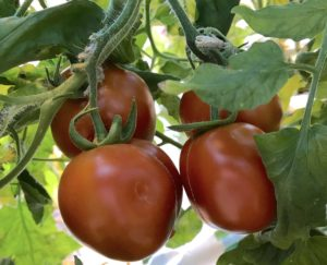 Clowe-up photo showing three or four salad tomatoes hanging on the vine with some of the leave showing.