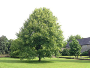 Large tuliptree shown in a large yard with a house off to one side and other trees in the background.