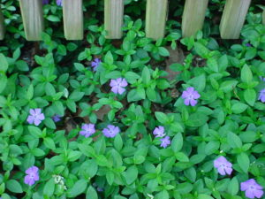 Vinca minor groundcover plant showing the green leaves and blue flowers .