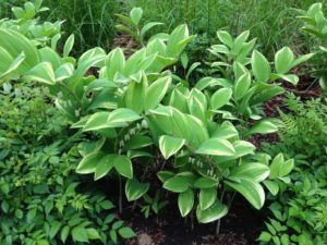 A patch of the Solomon's seal plant with green and white variegated leaves with a string of white flowers.