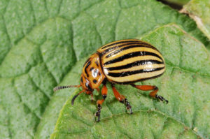 Close up of a Colorado potato beetle feeding on a leaf.