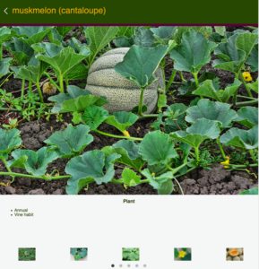 screenshot of Muskmelon page of the app