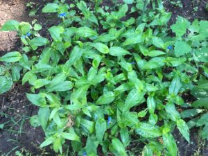 Patch of Asiatic dayflower with green, elongated leaves and small, blue flowers