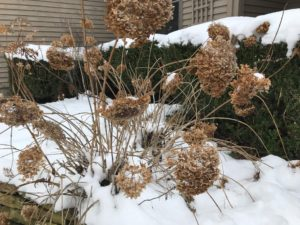 Close-up of the landscape around a house showing Hydrangea and boxwood plants with snow cover on them.