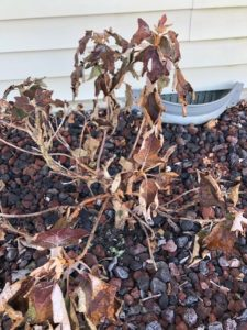 Hydrangea plant shown in a foundation planting bed next to a house, in winter.  Leaves still hanging on plant are dead.