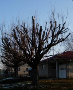 Image showing a topped tree in winter, in the yard of a house. All the main branches have been cut off along the top of the tree and new, young growth is visible.