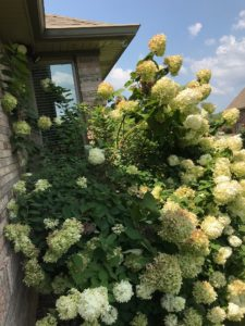 Overgrown panicle hydrangea in full bloom with white blooms, growing next to a house. The hydrangea plant is up to the eaves of the house.