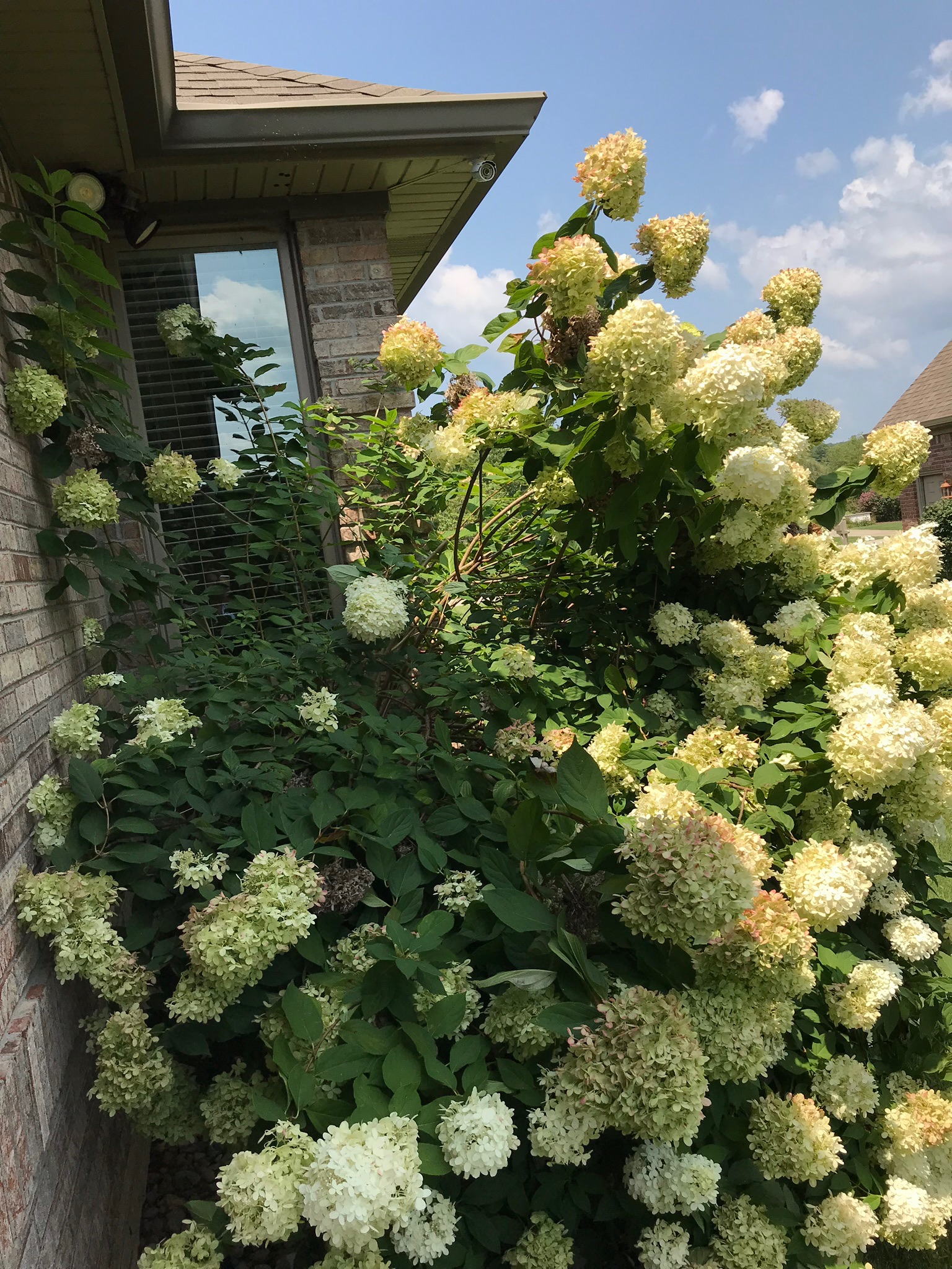 Early Spring Pruning Will Tame This Hydrangea Indiana Yard And