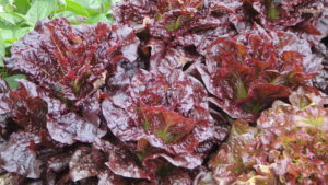 Close-up picture of a lettuce plant with large, reddish leaves