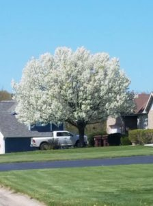 Ornamental pear tree in full bloom in front yard of house.