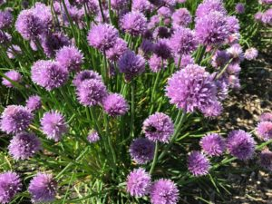 Bee on a chive floor in a larger group of chives with purple blooms with green stems.