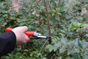 Person with hand pruners cutting dead or damaged branches from a plant.