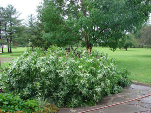 Large branch with leaves laying on the ground as a result of lightning striking the tree.