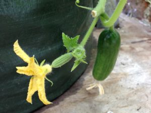 Close up of a cucumber plant flower and a young fruit.  Image shows a miniature fruit just below where the petals are attached to stem.  Flower is on the end of the miniature fruit.  The miniature fruit indicates a female flower.