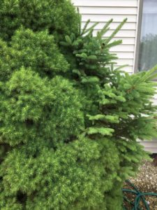 A dwarf spruce tree shown with growing a branch that is reverting back to a normal size for a full size version of the species.