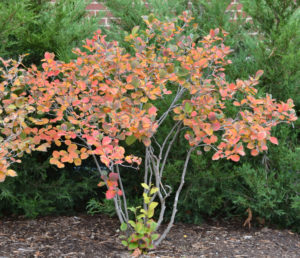 image of a Dwarf Fothergilla showing fall colors of pinkish read leaves