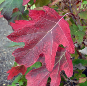 Close-up image of the oakleaf Hydrangea showing fall color of red leaves.