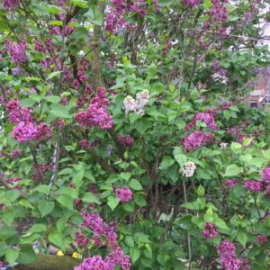 Photo of larger area of Sensation lilac showing an odd pale flowering branch on same plant with pinkish purple flowers.
