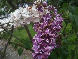 Close-up image showing two Sensation lilac flowers of both solid white and pinkish purple edges in white on the same plant. having both flowers on the same plant shows a genetic reversion to solid color flowers.