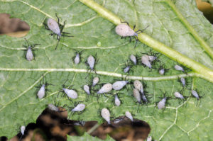 Close-up photo of the underside of a cucurbit leaf showing several Squash bug early stage nymphs feeding on the leaf.