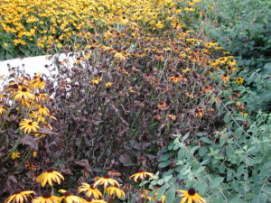 Flower bed with a large patch pf Rudbeckia plants that have died back.