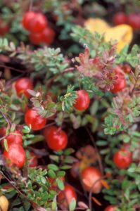 close up of a cranberry bush with bright red cranberries on the plant stems. The stems have small, green, elongated leaves.